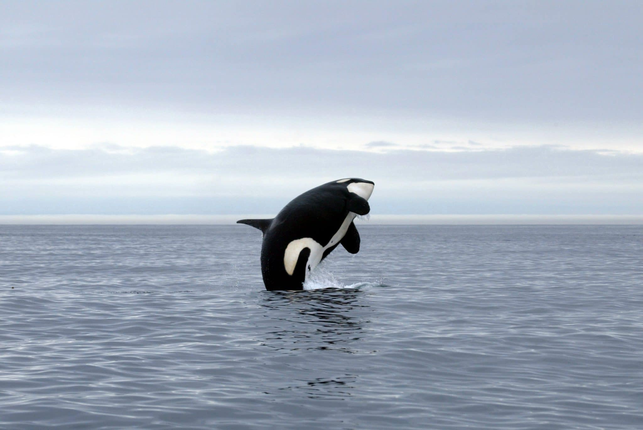 Orca Whale jumping on British Columbia coast – Vancouver Island (iStock 2020)
